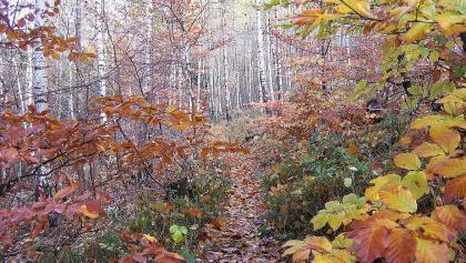 Birkenwald am Zick-Zack-Pfad