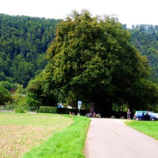 Linde in Weiler Donau-Radwanderweg