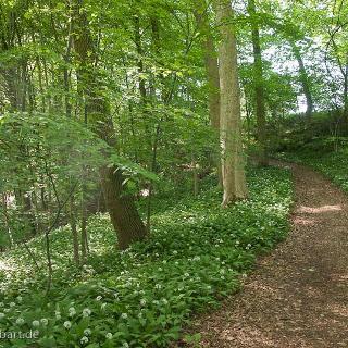 Kurz vor dem Ziel Spielberg: Wald mit Bärlauch