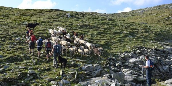 Begegnung mit Schafen auf dem Weg zur Lienlacke