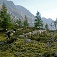 Glockengeläut der Schafe im vorderen Pollestal