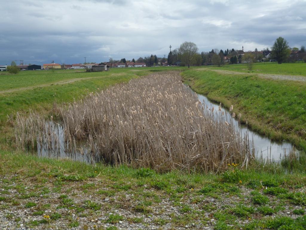 Das schilfbewachsene Regenwasserrückhaltebecken am Gräbenbach nordöstlich von Raisting. (Monika Heindl)