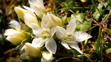 Weißer Herbstenzian