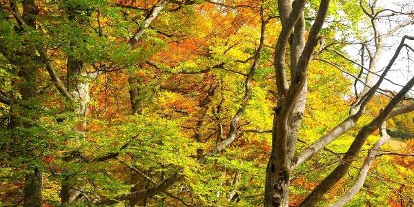 Im Herbst entfaltet der Buchenwald seine ganze Farbenpracht