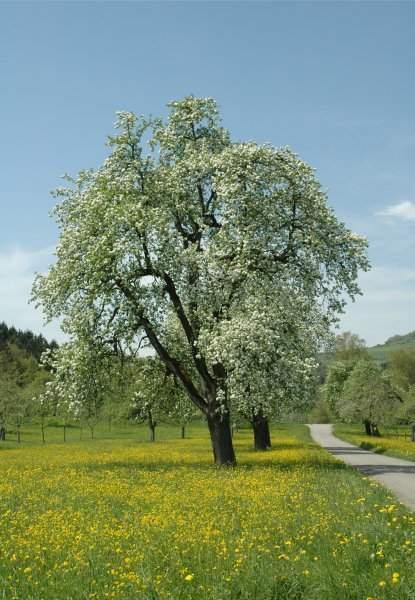 Wiese mit blühenden Obstbäumen