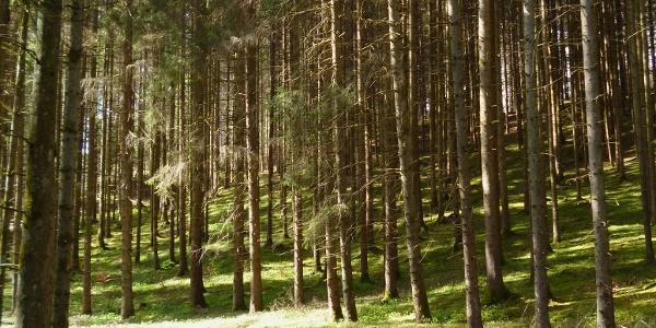 Auf ruhigen Forstwegen geht es vom Pollinger Weiher durch den Wald in Richtung Nordosten.