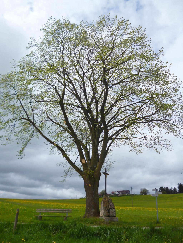 Große, einzeln stehende Eiche wenig nördlich des Weilers Oberlinden - daneben befindet sich eine Bank und ein Wegkreuz. (Monika Heindl)