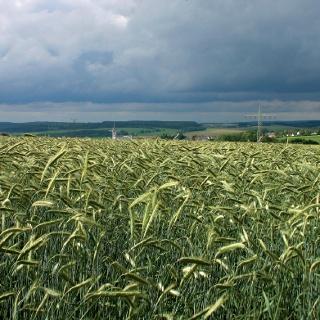 Kornfelder bei Gusenburg.