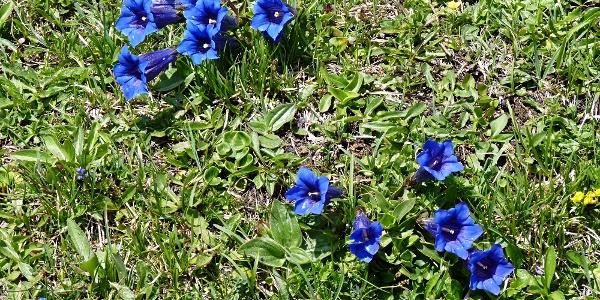 Im Mai kann man am Almpfad viele Enziane bewundern