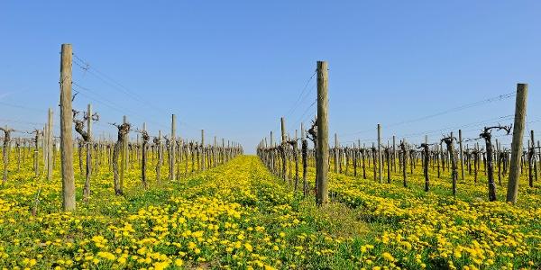 Weingarten im Frühling