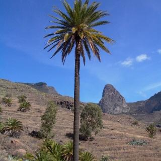 palme vor dem Vulkanfels Agando