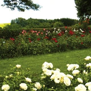 Im Rosendorf Schmitshausen blühen 12000 Rosen.