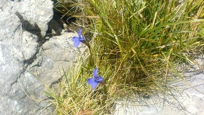 Alpenflora am Gaiseck.