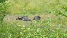 Wasserbüffel in fränkischer Flussaue