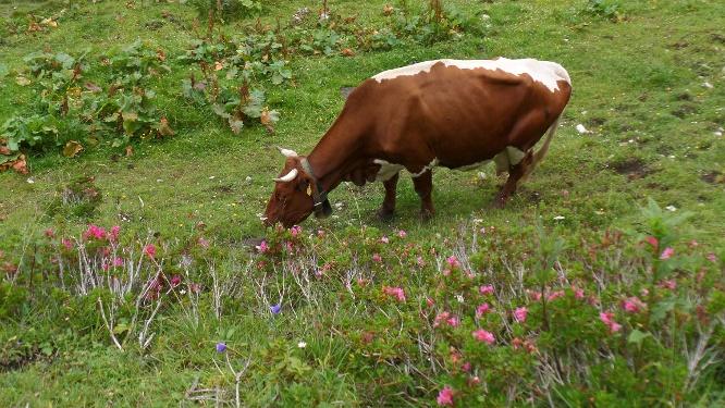 Kuh auf der Gsengalm
