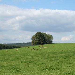 Eine Viehherde weidet auf der Hochebene bei Schrötting.