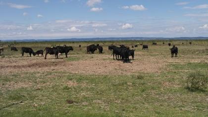 Rinder und Pustabeginn