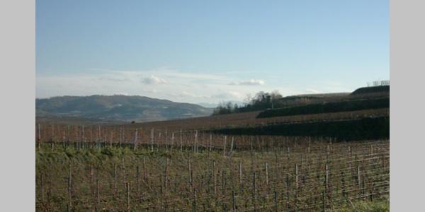 Weinbau, wohin das Auge blickt: In den Rheinauen wachsen hervorragende Traubensorten.