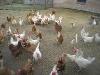 Freilaufende Hühner auf dem Hof der Familie Kilb   - © Quelle: Kilb's Bauernladen