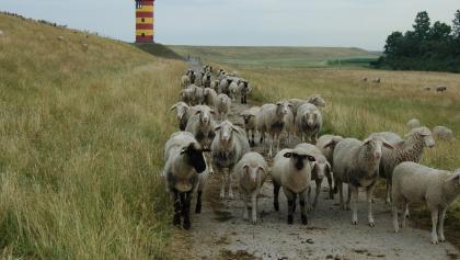 Eine Schafherde am Deich beim Pilsumer Leuchtturm.