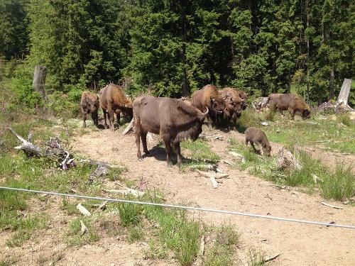 Rothaarsteig-Spur Wisentpfad - ein tierisches Wandervergnügen