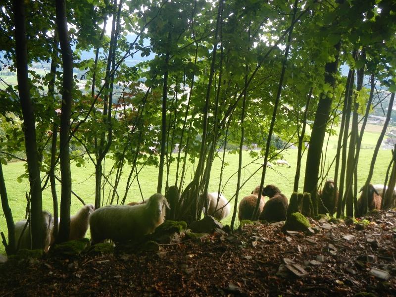 Schafherde am Rand eines Waldes