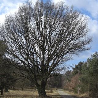 Ein markanter Baum in der Heide