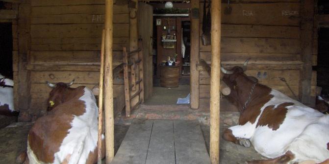 In der Moosenalm gehen wir zum Tresen durch den Stall.