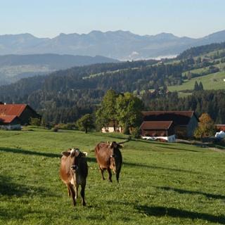 Kühe, Berge, blauer Himmel, was braucht man mehr?