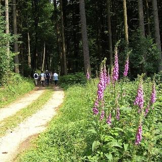 Leuchtend lila wächst der Fingerhut am Wegesrand des Waldschluchtenwegs.