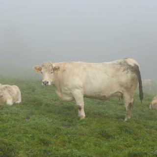 Vernebelte Rinder - und leider ist auch der Blick zur Biggetalsperre nicht möglich
