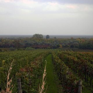 Ausblick über die Weingärten in der Nähe von Balf