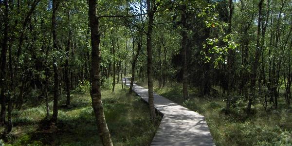 Ein Holzbohlenweg führt uns durch ein Wäldchen mit Karpatenbirken.