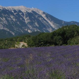 Typisch für die Provence: Der Mont Ventoux und Lavendel-Felder.