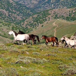 Wildpferde um 1700m nach dem Silbersattel.