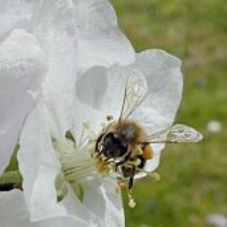 Eine Honigbiene auf einer Apfelblüte.