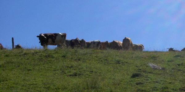 Fleckvieh grast auf der Bergweide.