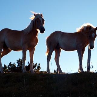 Pferde am Kamm um 1900m