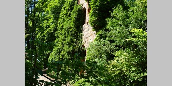 Die überwachsene Ruine des Kloster Lidow.