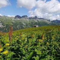 Schaf-Alpe