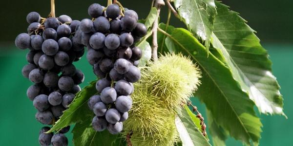 Weintrauben und Esskastanien begleiten uns auf Schritt und Tritt.