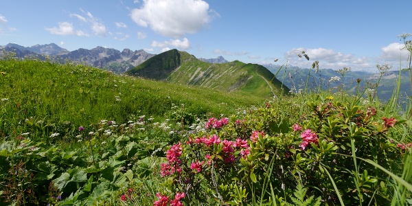 Alpenrosen am Schlappoltkopf