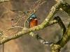 seltener Eisvogel   - @ Autor: eisvogel © Kerry  - © Quelle: www.fotolia.de