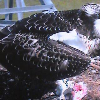 Fischadlerhorst mit Lifekamera kurz vor dem Ausfliegen des letzten der drei Jungvögel