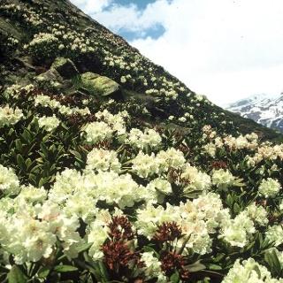 Rhododendren-Hänge um 3000m