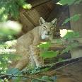 Mit etwas Glück entdecken wir im Luchsgehege die gefleckte Katze mit den Pinselohren und den breiten Pfoten.