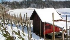 Rebberge im Winter