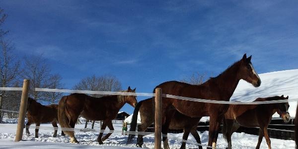 Die Pferde von Aigis