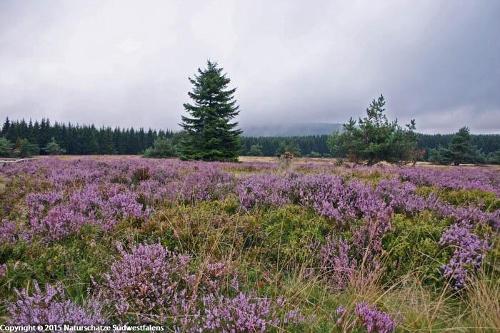 Niedersfelder Hochheide - Naturerlebnisweg nördlich Winterberg