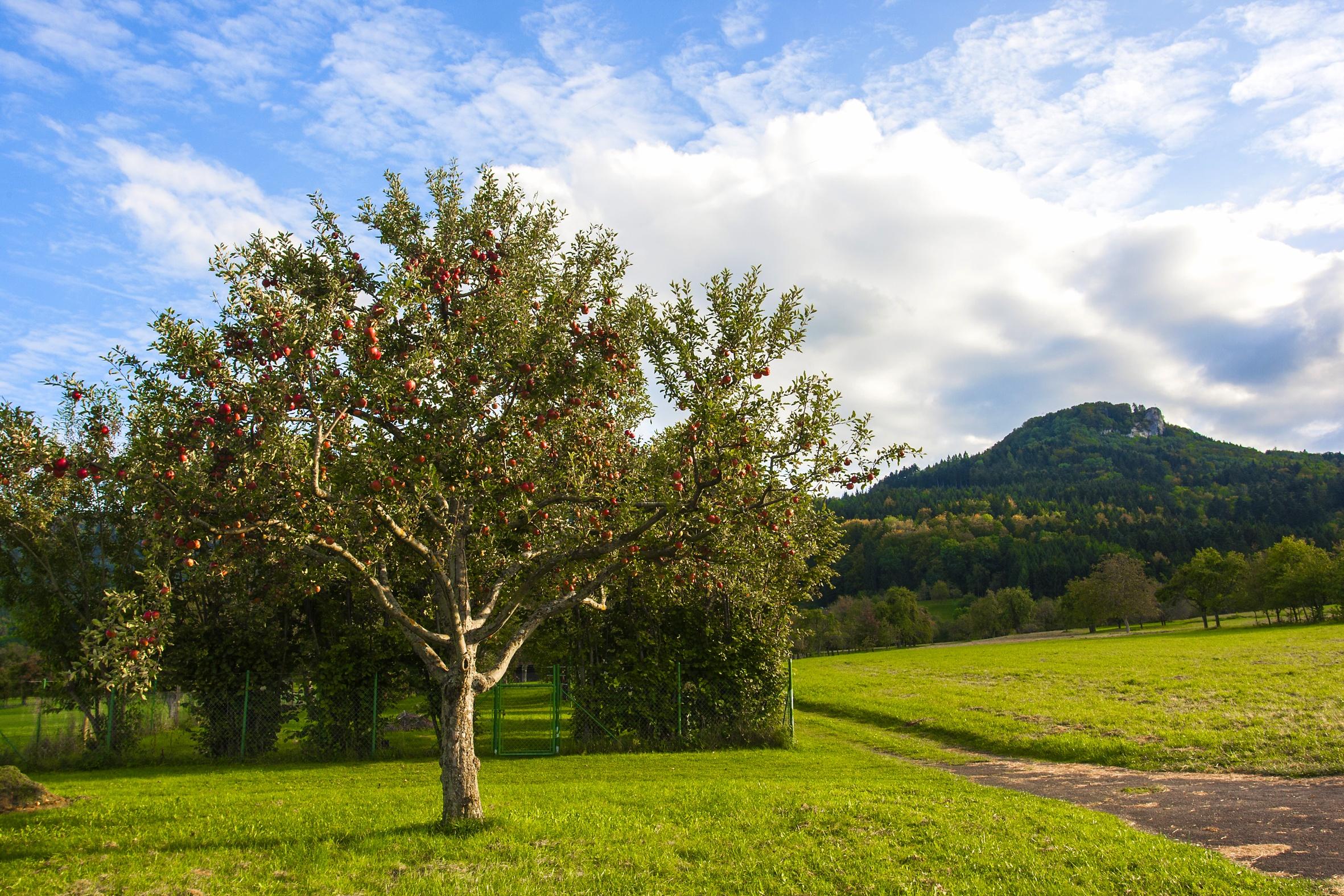 Obstbäume mit Lochenstein im Hintergrund